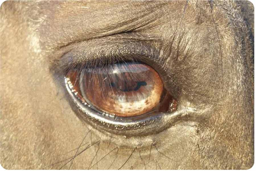 a closeup of the eye of a horse who is helping people to become their real selves during equine facilitated learning training in somerset uk
