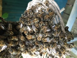 Bees clustered around the entrance of a sun hive