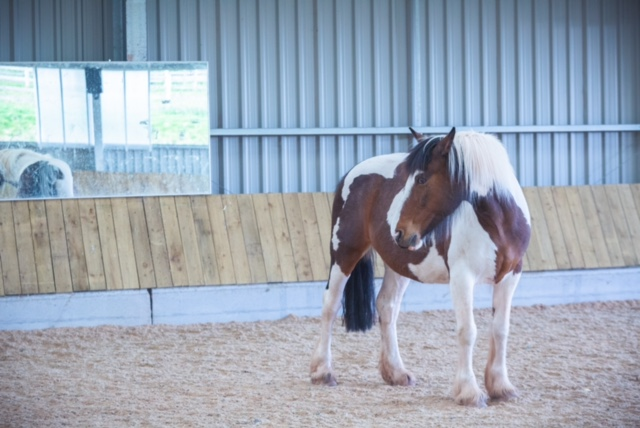 Piebald horse in an indoor school looking over it's shoulder. Behind the horse on the wall of the school is a mirror.