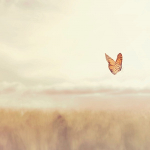 A red butterfly flying above what looks like a field of wheat. The background is blurred so only the butterfly is in focus.