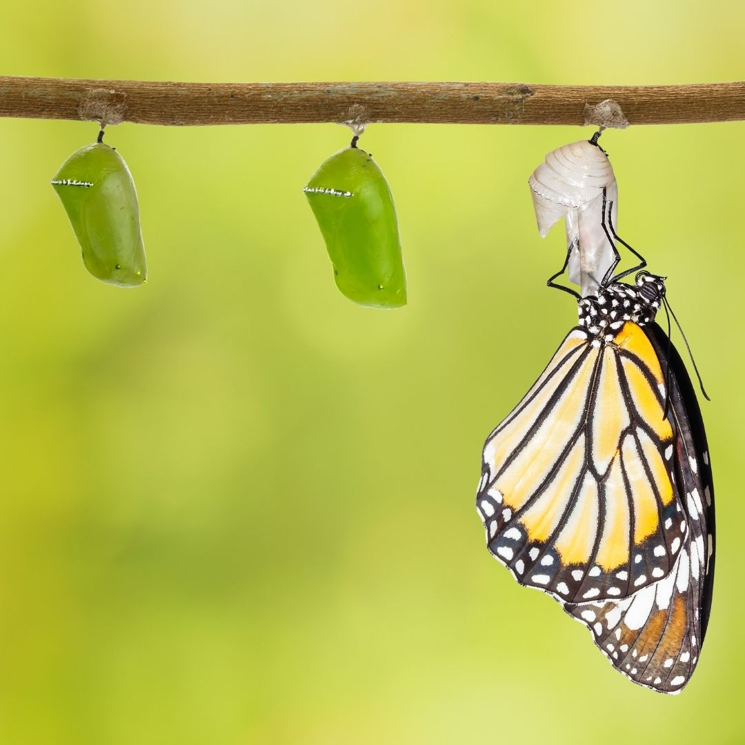 Butterfly coming out of it's cocoon which is hanging from a branch. There are two other cocoons on the branch. The background is green.